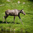 Swedish moose - Stock Photo