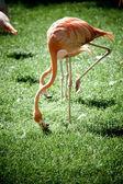 フラミンゴ — ストック写真