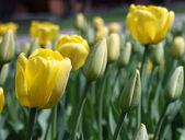 Varietal tulips — Stock Photo