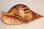 Ocean shell called Trumpet Triton — Stock Photo