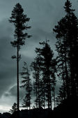 Pine Trees in twilight — Stock Photo