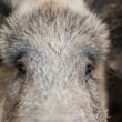 Wild Boar portrait — Stock Photo
