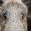 Wild Boar portrait - Stock Photo