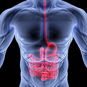 Intestine — Stock Photo