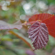 Bokeh- red leaf tree — Stock Photo
