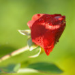 Red rose — Stock Photo #6457379
