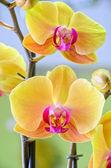 Gele orchidee close-up — Stockfoto