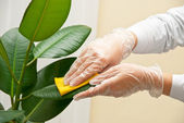 Cleaning ficus — Stock Photo