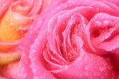 Beautiful pink Rose macro — Stock Photo