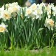 The White narcissuses — Stock Photo