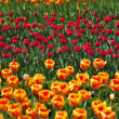 Tulips avenue — Stock Photo