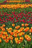 Tulips avenue — Stock Photo