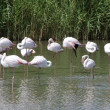 Stock Photo: Wildlife: Flamingos in Camargue