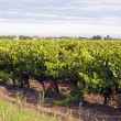 Vineyard - Vin de sable, Camargue — Stock Photo #6723278