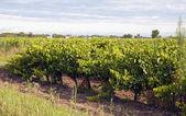Vineyard - Vin de sable, Camargue — Stock Photo