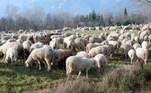 Flock of sheep — Stock Photo