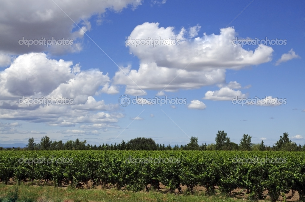 The vin de sable, wine of sand, is a wine country vineyard from the sands of the ocean. — Stock Photo #6723316
