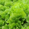 Healthy lettuce growing in soil — Stock Photo #5435006