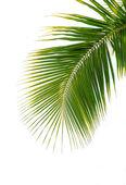 Yeşil palmiye yaprağı — Stok fotoğraf