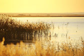 Reed stalks in the swamp against sunlight. — Foto Stock