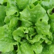 Fresh salad lettuce — Stock Photo