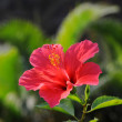 Closeup of Chinese Hibisci Rosae-Sinensis Flower — Stock Photo