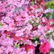 Peach blossom flower.apricot-tree branch in bloom — Stock Photo