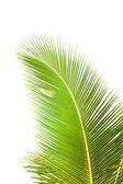 Folha de palmeira verde — Foto Stock