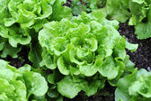 Healthy lettuce growing in the soil — Stockfoto