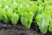 Lettuce growing in the soil — Stock Photo