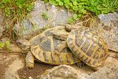 Duas tartarugas — Fotografia Stock