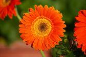Gerber orange — Photo
