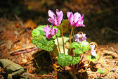 Forest cyclamen — Stock Photo