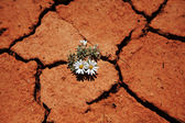 Flower in drought — Stock Photo