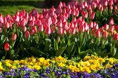 Red tulips — Zdjęcie stockowe