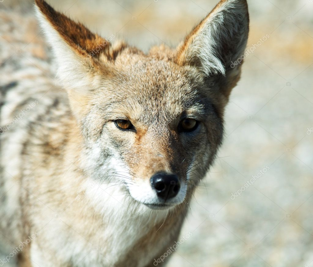 Coyote closeup — Stock Photo #5722939