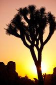 Joshua tree — Stock Photo