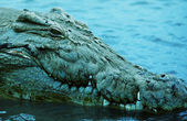 Crocodile — Stock Photo