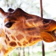 Stock Photo: Giraffe in savannah