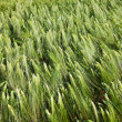 Wheat closeup - Stockfoto