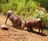 Warthogs — Stock Photo