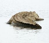 Crocodilo no meu lago — Foto Stock