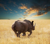 Rhino — Stock Photo