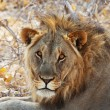Stock Photo: African lion