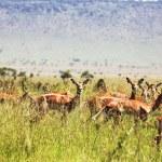 Antelope in grass — Stock Photo