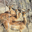 Antelope — Stock Photo #6561148