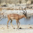 Antelope — Stock Photo #6561190