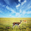 Stock Photo: antelope