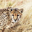 cheetah — Stock Photo #6563185