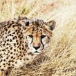 Stockfoto: Cheetah